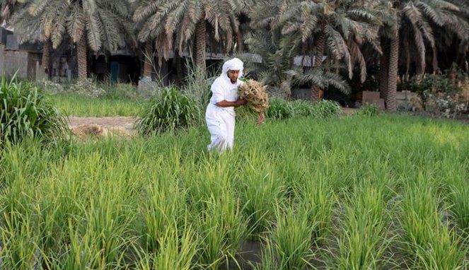 Al Hasa, wilayah Saudi penghasil beras termahal di dunia - (Ada 0 foto)